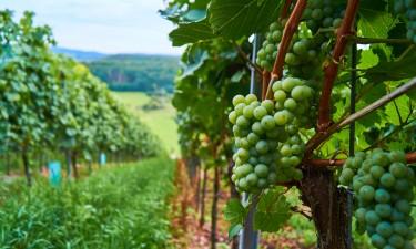 Besøg de små vingårde og smag på vinen